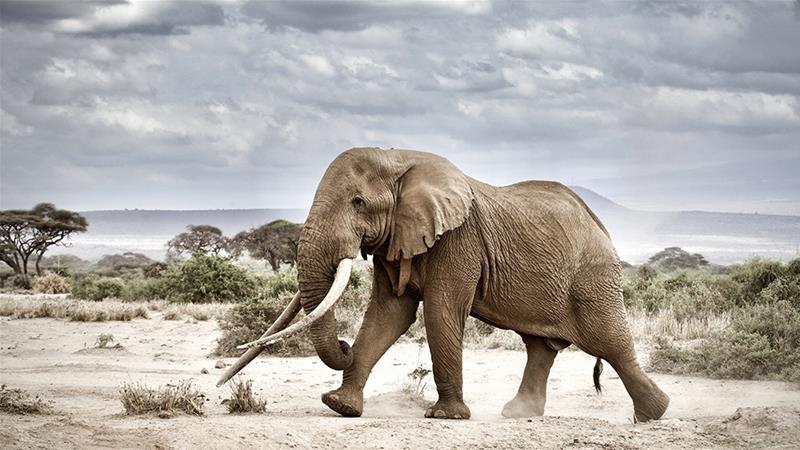 Big Tim, one of Kenya's last giant 'tusker' elephants, dies at 50