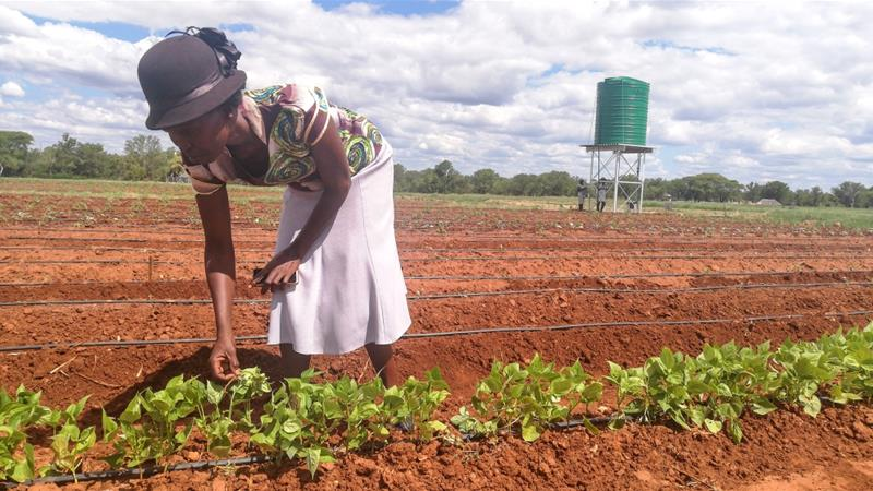 Linda Ncube has migrated from flood irrigation to drip irrigation which saves nutrients and water in the wake of recurrent droughts [Farai Matiashe/Al Jazeera]