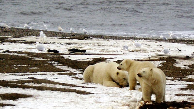 A polar bear sow and two cubs are seen on the Beaufort Sea coast within the 1002 Area of the Arctic National Wildlife Refuge in this undated handout photo provided by the US Fish and Wildlife Service [US Fish and Wildlife Service/Handout via Reuters]