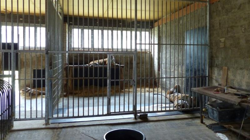 More tigers in captivity than in the wild, new report highlights