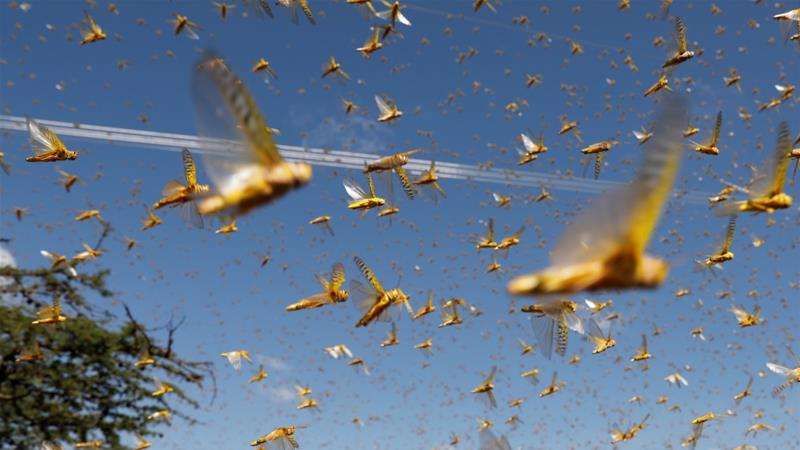 World Bank approves record $500m to battle locust swarm