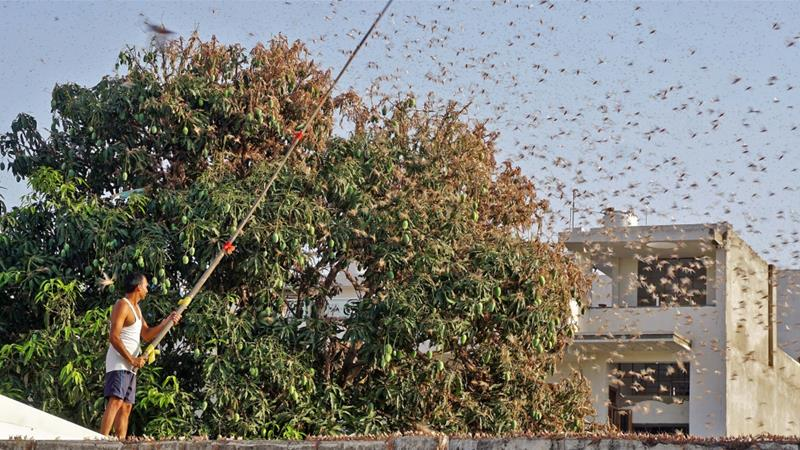 India combats locust attack amid Covid-19 pandemic