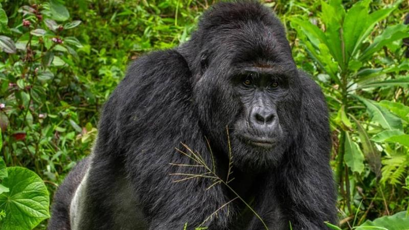 Silverback Rafiki was a leader of a 17-member gorilla group in the Bwindi Impenetrable National Park in Uganda [File: Uganda Wildlife Authority]