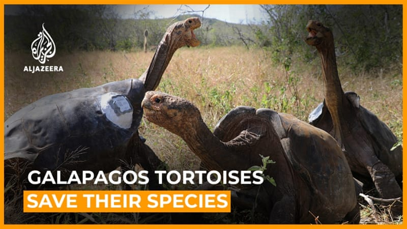 Giant Galapagos tortoises released after saving their species