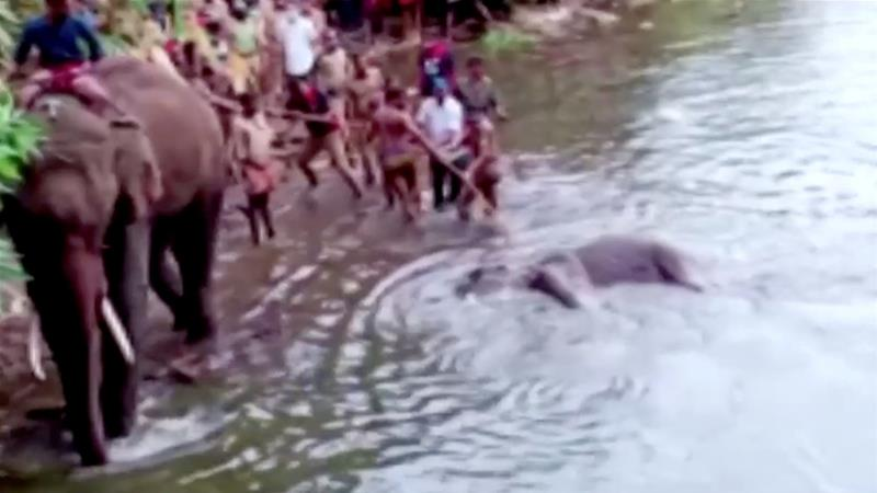 Outrage after pregnant elephant dies eating 'firecracker fruit'