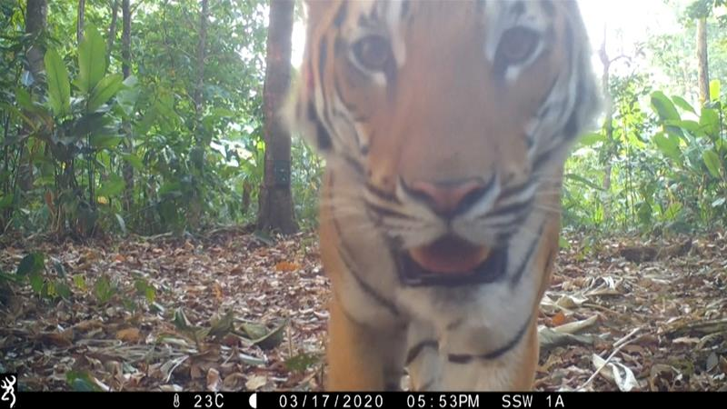 The conservation group Panthera released footage on Wednesday of three tigers caught by its cameras in the country's western forests [Panthera/Al Jazeera]