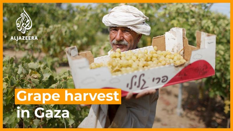 Gaza grape farmers struggle with Israeli blockade, pandemic