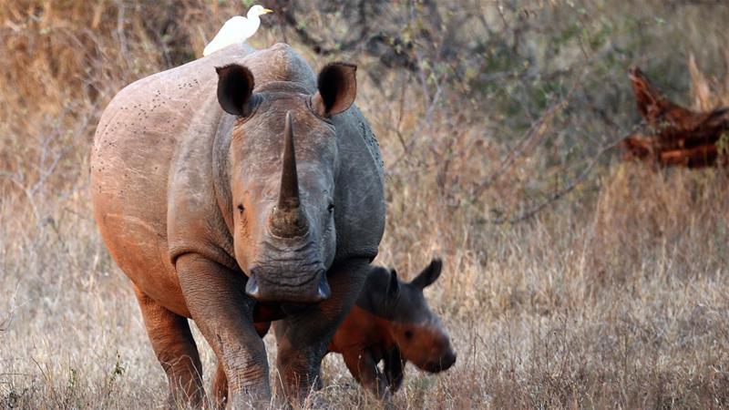 Namibia: Rhino poaching falls by more than 60 percent