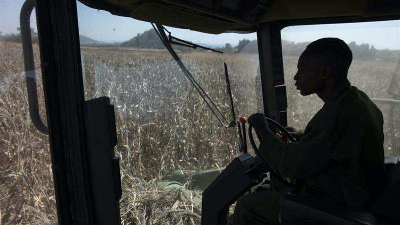 Corn fields are harvested at Ivordale Farm on August 1, 2018 outside Harare, Zimbabwe [Dan Kitwood/Getty Images]