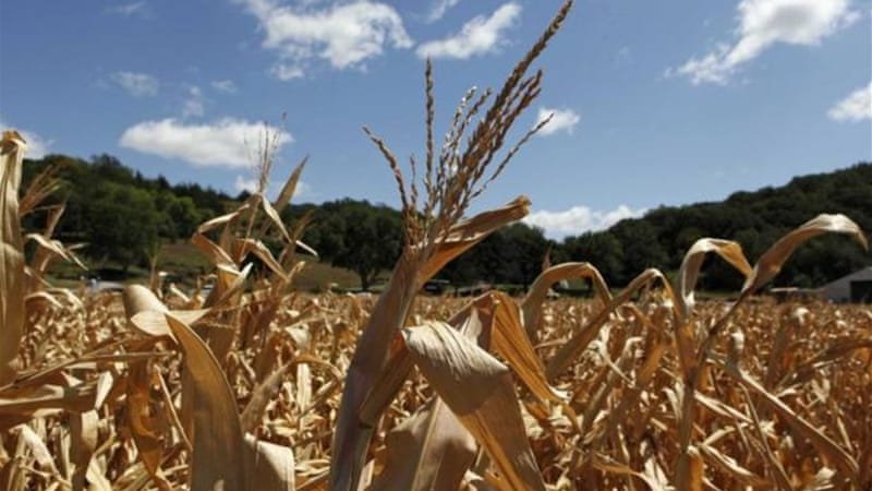A devastating drought in the United States last year badly hurt corn yields [Reuters]