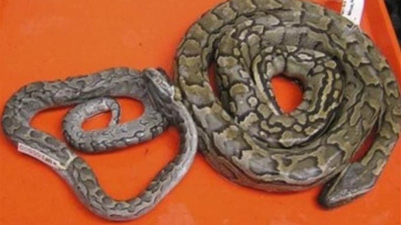 Local news sources said the captured reptile is an African rock python, similar to the one pictured on the right [AP]