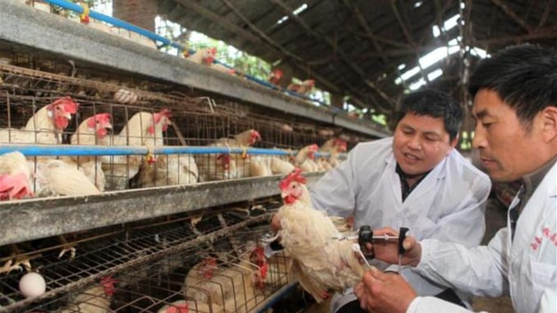 China has been vaccinating birds against the H5N1 strain of avian flu [EPA]