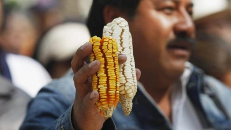 Mexico is the 'centre of origin' for maize [Reuters]