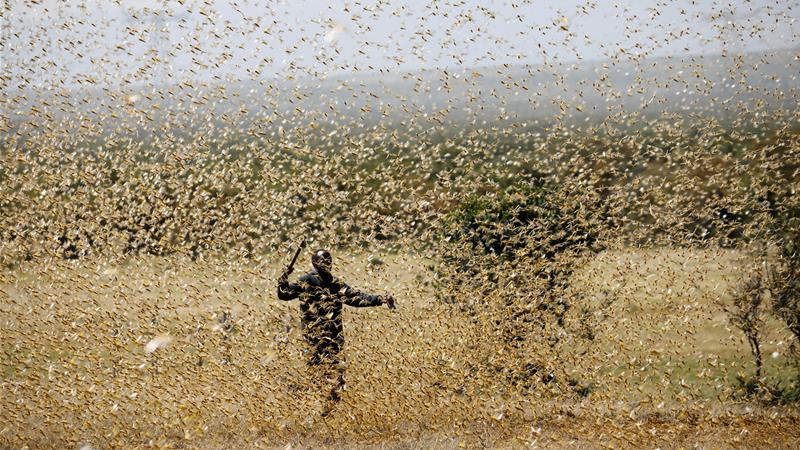 Can East Africa's locust plague be stopped?