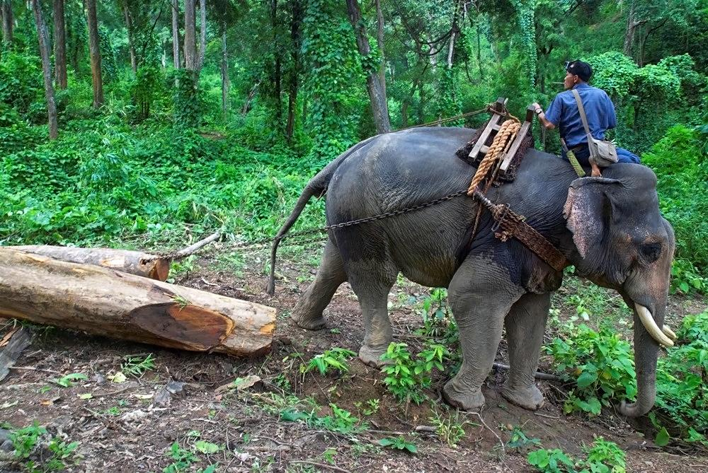 Image result for elephants myanmar photos