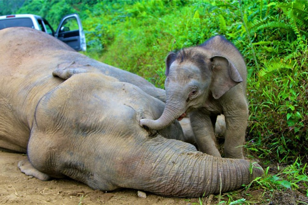 A pygmy elephant calf walks next to its dead mother in Gunung Rara Forest Reserve in Malaysia. Ten endangered Borneo pygmy elephants have been found mysteriously dead; they are believed to have been poisoned.