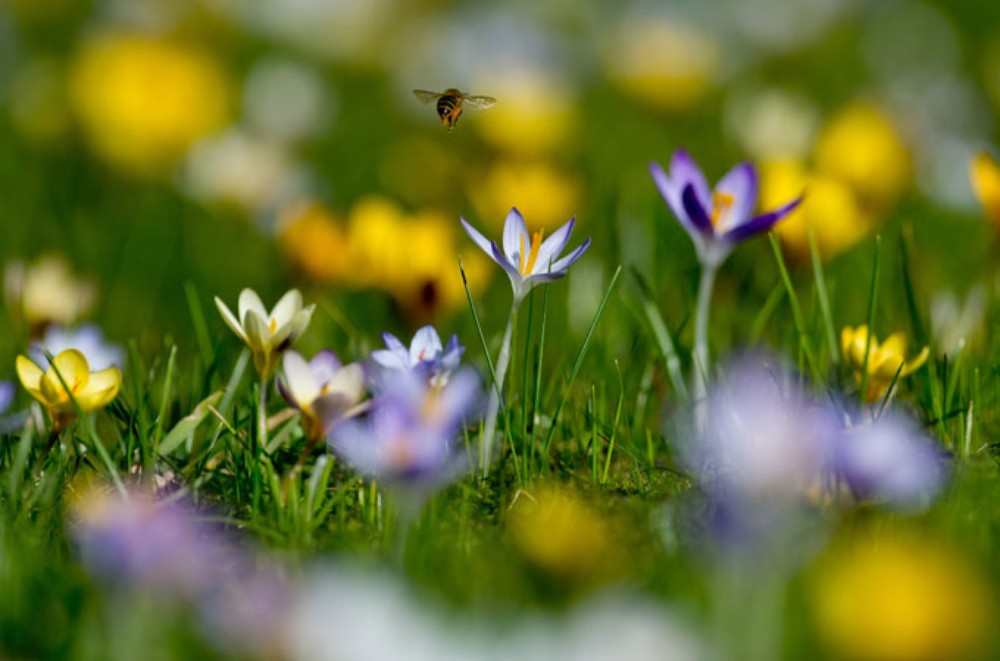 Bees are already hovering above crocuses at the botanical gardens of Loki Schmidt Garden in Hamburg, Germany.