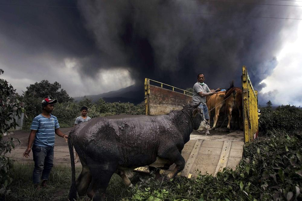 Indonesian villagers evacuated their cows as Mount Sinabung spewed volcanic ashes on Berastepu village in North Sumatra.