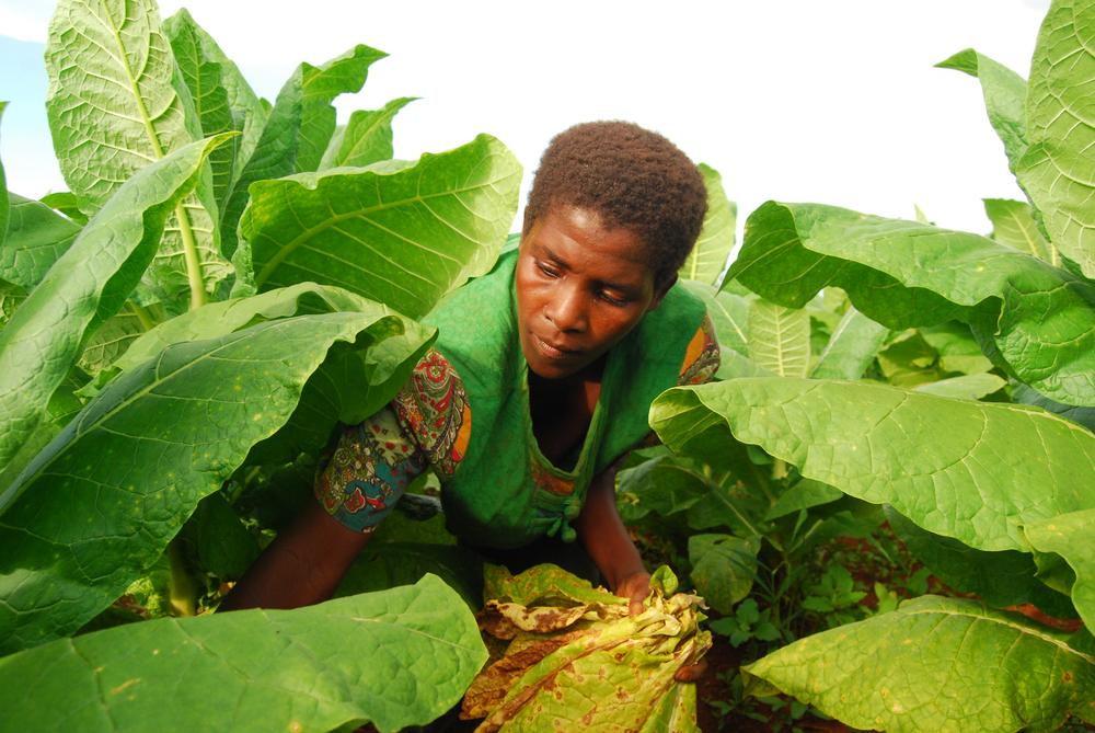 <p>Ireen Kameta plucks the mature leaves at her tobacco field. It is estimated that more than 80 percent of Malawians are directly or indirectly employed by the tobacco industry.</p>