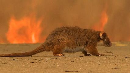 Australia's bushfires devastate native wildlife population thumbnail