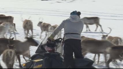 Sweden reindeer herders face revenge attacks after landmark case thumbnail