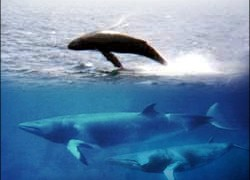 Minke whales will the hunters' first targets