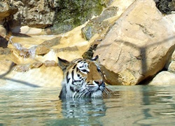 A Siberian tiger cools off in Barben zoo, France.