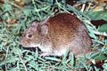 First meadow voles... but could men be next?