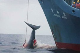 Japan says it annual whale hunt is for research purposes