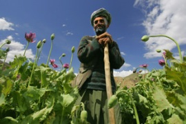 Afghan farmers say they need opium fields to sustain an income [GALLO/GETTY]