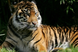 Russia hosts summit to save tiger
