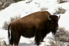 Montana floats bison relocation plan