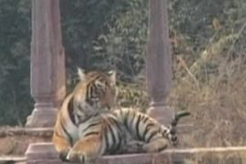 Tiger numbers on the rise, census shows