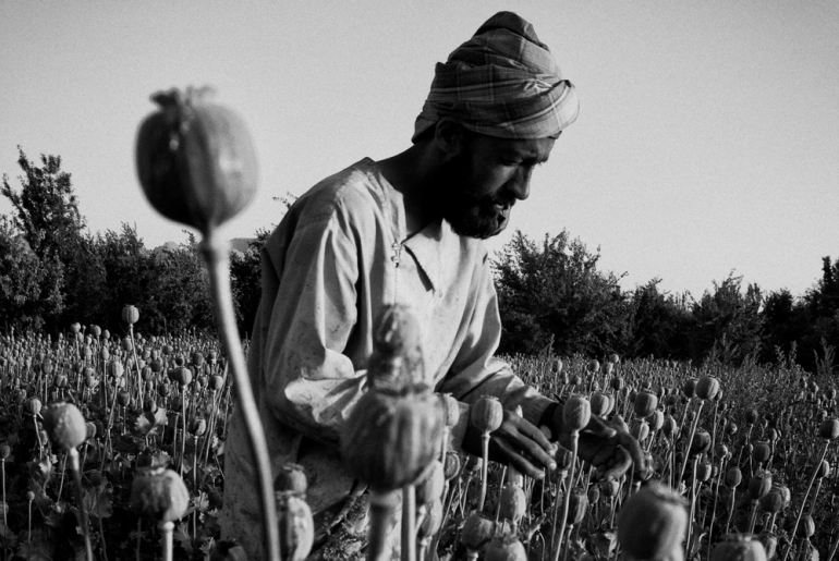Afghans harvest the opium crop from their poppy fields in Jazah village, in the Arghandab valley [John D McHugh]
