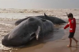 Rescue continues in Tasmania whale tragedy