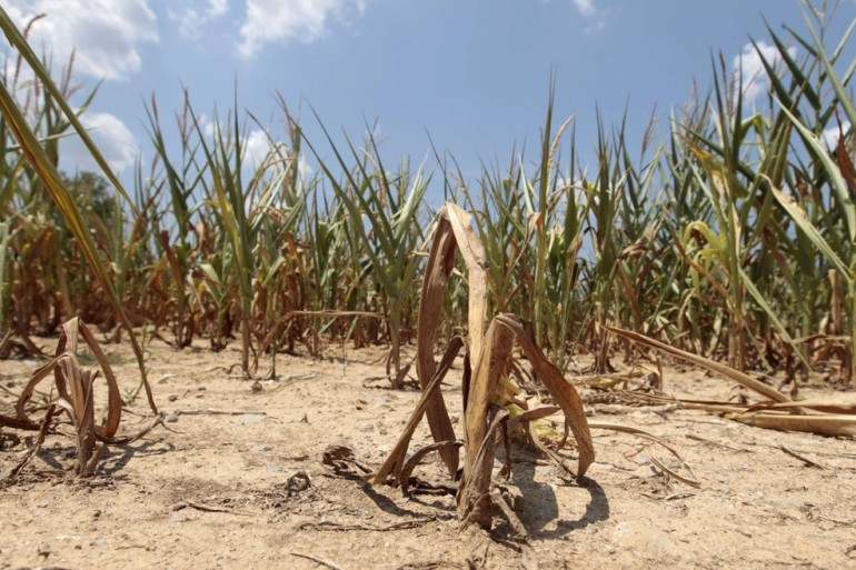 Corn plants struggle to survive in a drought-stricken farm field near Evansville, Indiana. Oppressive heat and a worsening drought in the U.S. Midwest pushed grain prices near or past records.
