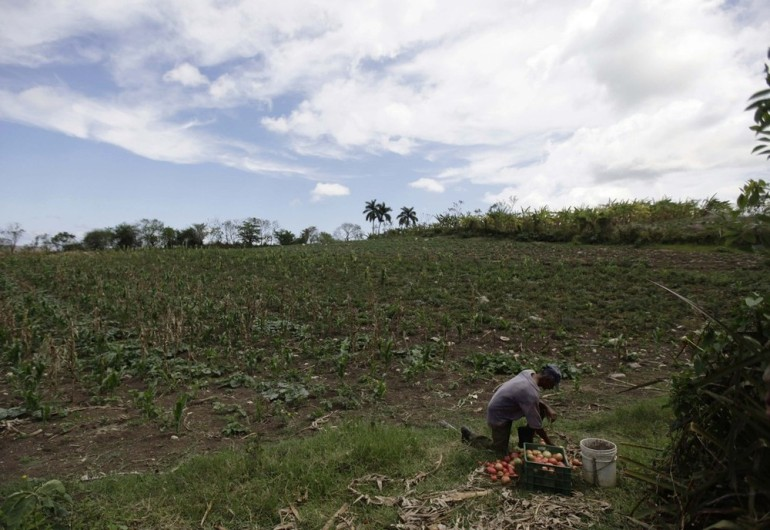"A Cuban farmer Juan Mendoza sorts tomatoes on his cooperative near Havana. ""Agricultural cooperatives - key to feeding the world"" is the formal title given to 2012(***)s World Food Day, as cooperatives are seen as a tool to fighting hunger for future generations."