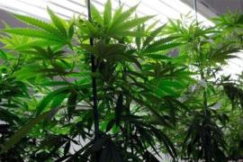 Voters in Colorado, Oregon, and Washington state will choose whether to legalise marijuana [AP]