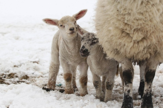 These lambs are some of the lucky ones, but thousands of cattle and sheep are already feared to have died. [AFP]