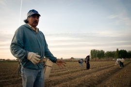 Immigrant farm labourers harvest asparagus in Sunnyside, Washington [Alex Stonehill/The Seattle Globalist]