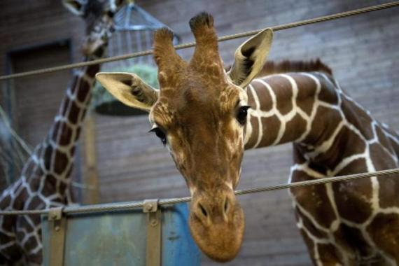 Copenhagen Zoo in February put down Marius, an 18-month-old giraffe, and dissected it front of school children [EPA]