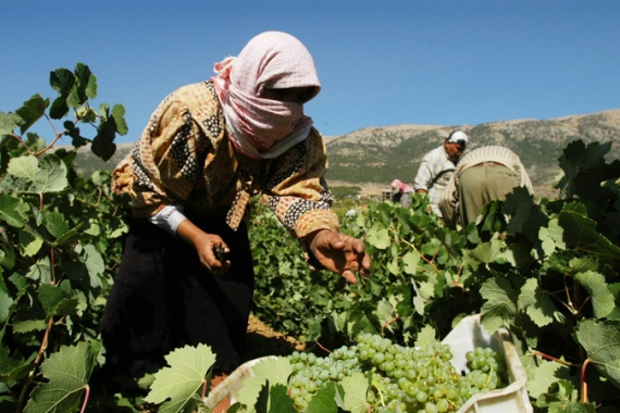 Working in wine vineyards is one of the few jobs available to Syrian refugees in Lebanon [EPA]