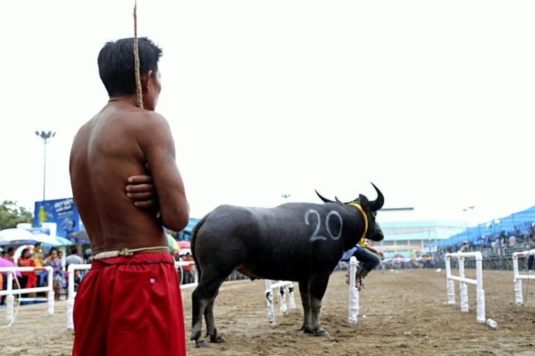 A Thai rider looks after his buffalo before the race. Competition is spread throughout the day in the intense heat.
