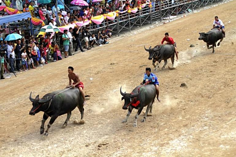 The big beasts stampede on the 100-metre track guided by jockeys during the traditional buffalo race.