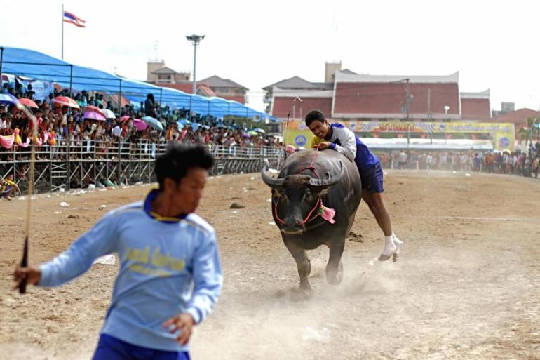 A jockey jumps off his buffalo to stop it at the finish line.