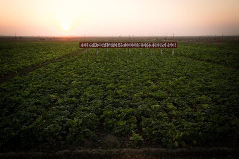 Cabbage crops in a rural area near Kaesong.