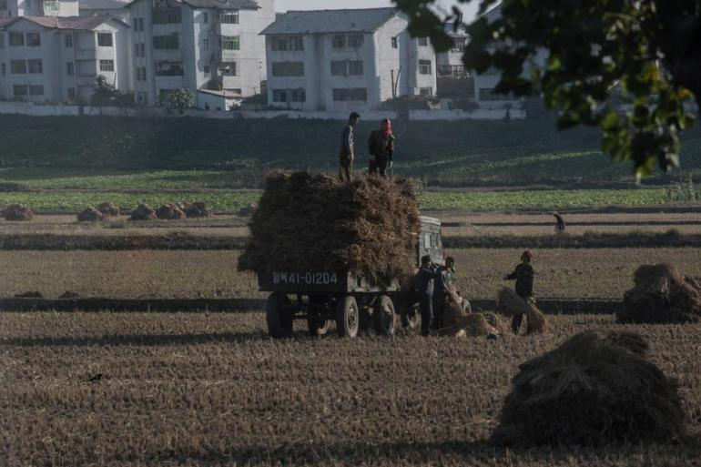North Koreans harvesting rice.