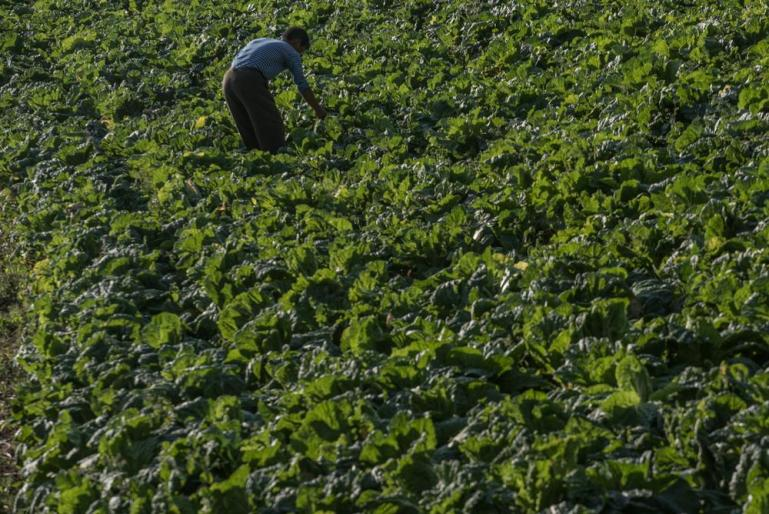 A North Korean farmer checks his cabbage crop that will be used to make kimchi, spicy pickled cabbage.