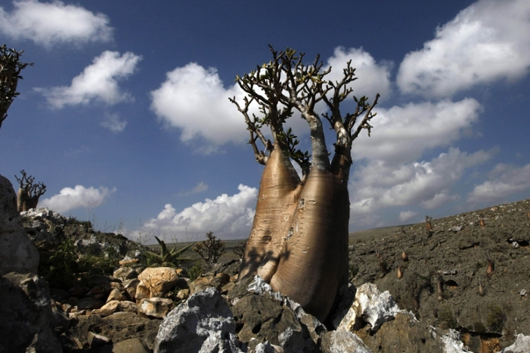 Socotran 'desert roses', whose obese trunks are adapted to store water, stand on a hillside on Socotra island [Reuters]