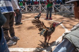 The killer rooster was briefly held at the local police station before it was sent to a poultry farm [File: Reuters]